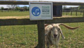 Bocketts Farm Park Goat