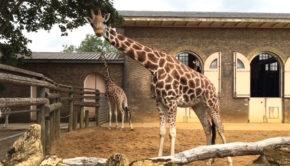 giraffes-london-zoo