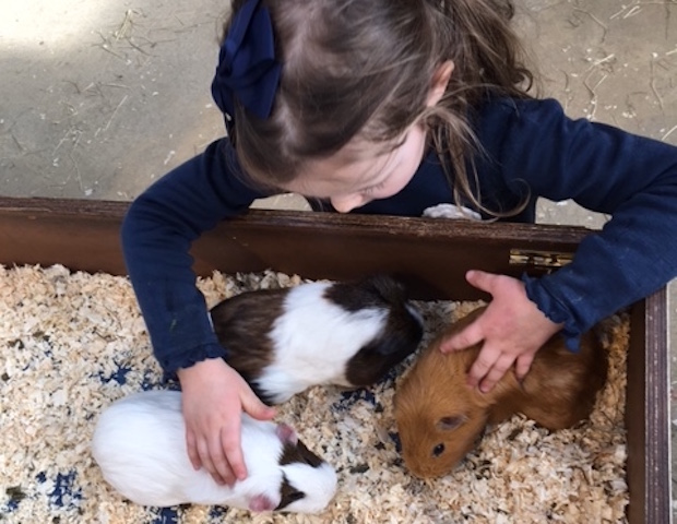 Guinea pigs Willows Activity Farm