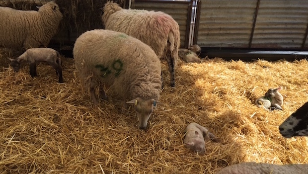 Lambing Season Bocketts Farm Park